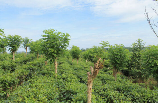 5 Acre Tea and Cinnamon plantation for sale