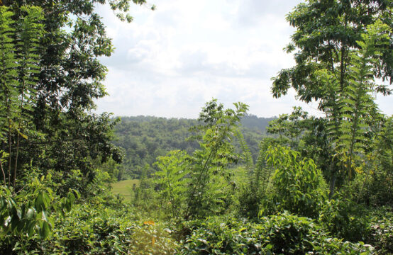 Tea plantation for sale – 8 Acres