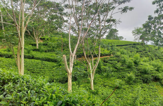 Tea estate for sale – 12 Acres