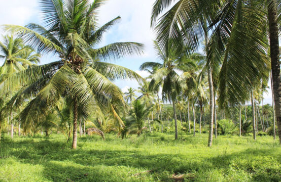 Coconut plantation (50 Acres) for sale