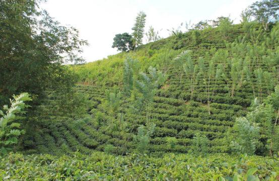 Tea estate for sale 17.5 acre